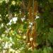 আলকুশি বা বিলাই খামচি গাছের ওষধি গুণাগুণ